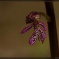 Orchis Purpuréa